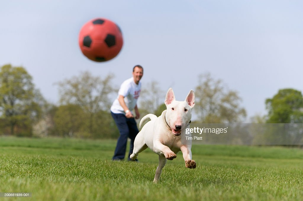 Man with English Bull Terrier in park, dog chasing ball : Stock Photo