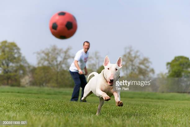 Man with English Bull Terrier in park, dog chasing ball