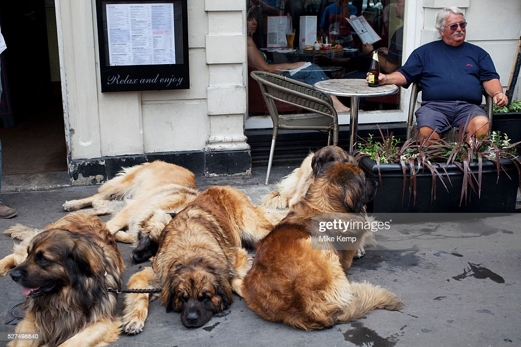Uk London Man With Five Huge Leonberger Dogs Pictures Getty Images
