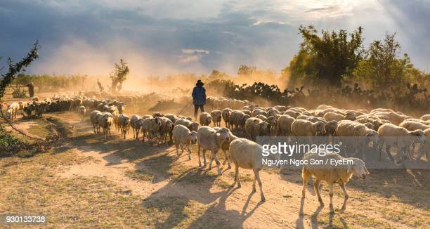 Man With Flock Of Sheep On Field Against Sky