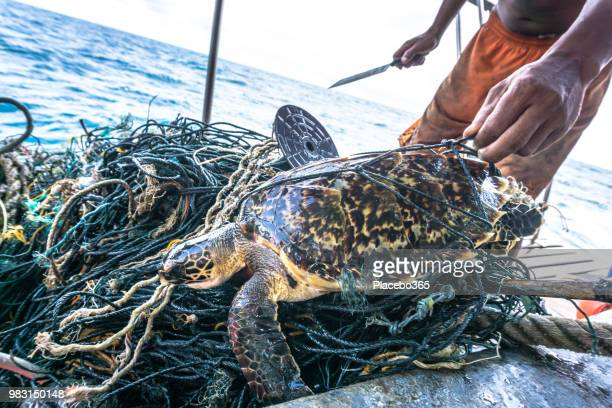 man with knife rescuing critically endangered hawksbill sea turtle tangled ghost net - poluição imagens e fotografias de stock