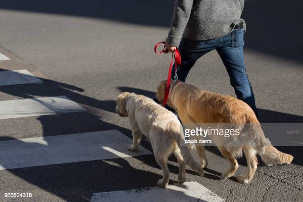 man with two dogs is walking across a zebra crossing - dos animales fotografías e imágenes de stock