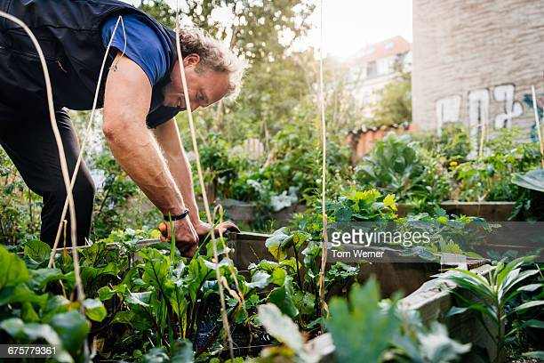 man working in a community garden - gemüsegarten stock-fotos und bilder