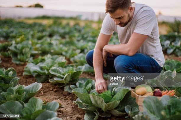Man working in cabbage field