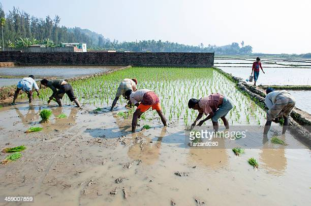 man working in paddy field - bangladesh photos stock photos and pictures