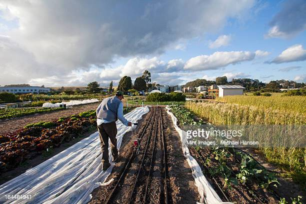 A man working in the fields at the social care and work project, the Homeless Garden Project in Santa Cruz. Sowing seed in the ploughed furrows.