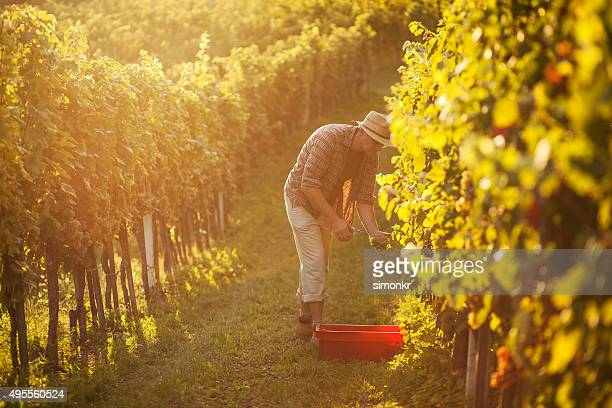 man working in vineyard - grape harvest stock pictures, royalty-free photos & images