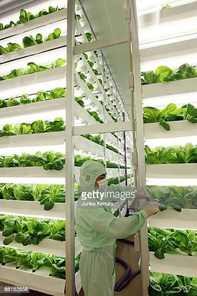 A man works at a plant factory at Ozu Corporation on June 2 2009 in Tokyo Japan Vegetables produced in the plant factories have completely controlled...