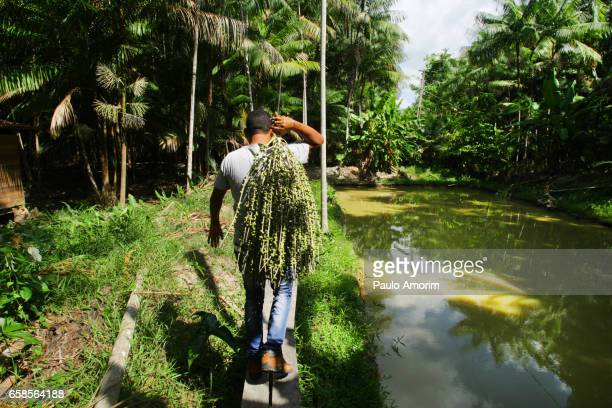 A man works carrying  a harvested açai berries in Amazon,Brazil