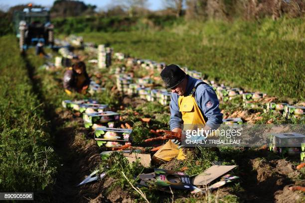 A man works in a carrot field on December 12 2017 in Creances northwestern France / AFP PHOTO / CHARLY TRIBALLEAU
