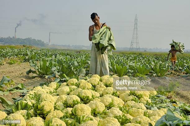 A man works in a Cauliflower field outskirt of Dhaka The capital city of Bangladesh Dhaka Bangladesh January 21 2007