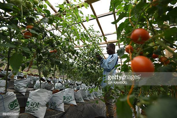 A man works in a hydroponic tomatoes farm in Bingerville on August 22 2016 Hydroponics were developed over the ages around the world as an...
