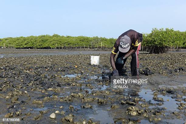 A man works in a oyster cultivation field in the mangrove of Joal on October 24 2016 dried Mangrove trunks lying on the river bank near Joal western...