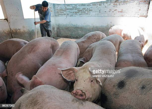 A man works inside a pigsty in a farm in Mexicaltzingo Mexico on April 28 2009 Mexico is the epicenter of a deadly swine flu outbreak which has been...
