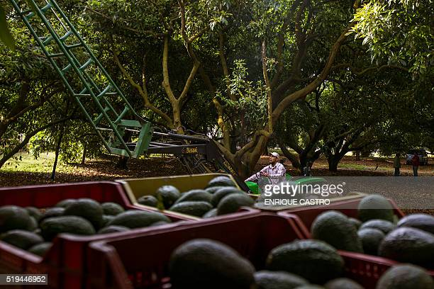 A man works on a tractor during the harvest of avocado at an orchard in Uruapan municipality Michoacan State Mexico on April 6 2016 Since the oil...