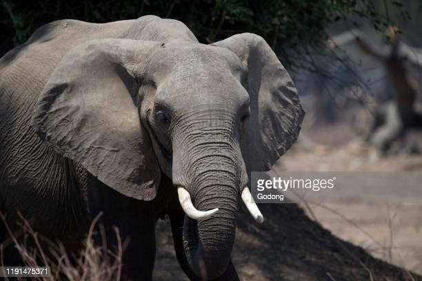 Mana Pools National Park. African Bush Elephant . Zimbabwe.