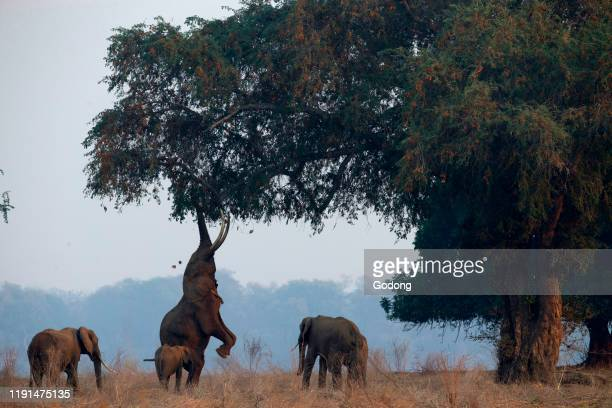 Mana Pools National Park. African elephant - Loxodonta africana - reaching up to acacia tree. Zimbabwe.
