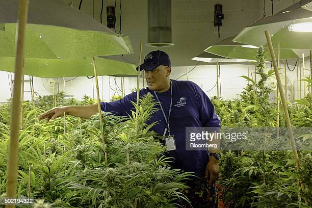 Manager Ross Phillip speaks while standing in a flower room at the grow facility for Sense of Healing dispensary in Denver Colorado US on Wednesday...