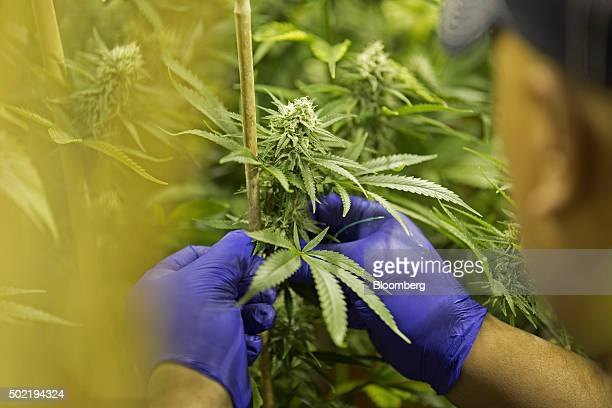 Manager Ross Phillip stakes marijuana plants in a flower room at the grow facility for Sense of Healing dispensary in Denver Colorado US on Wednesday...