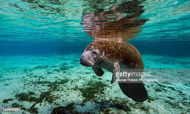 manatee at crystal river in florida - florida manatee stock photos and pictures