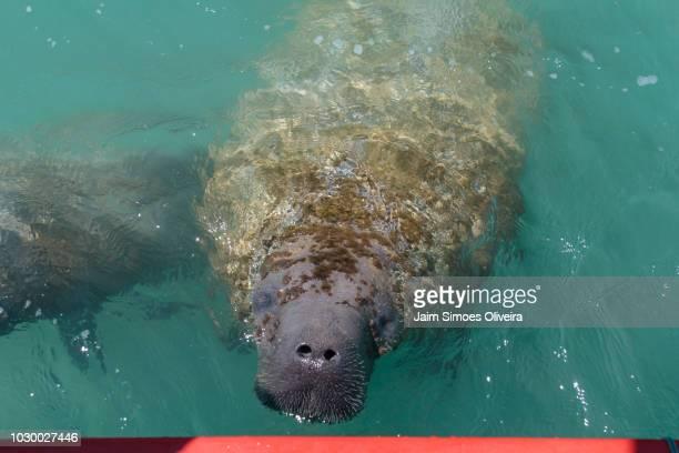 manatee at praia da laje (beach of slab) em porto de pedras, alagoas, brazil. - laje stock pictures, royalty-free photos & images
