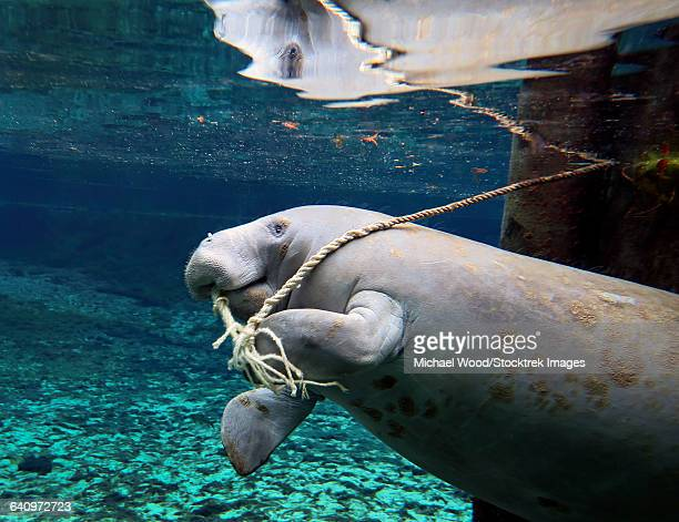 A manatee chews on a dock rope in Fanning Springs State Park, Florida.