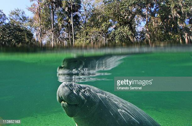 Manatee comes to the surface for air at Blue Spring State Park in Orange City, Florida, Thursday, January 14, 2010. Park service specialist Wayne...