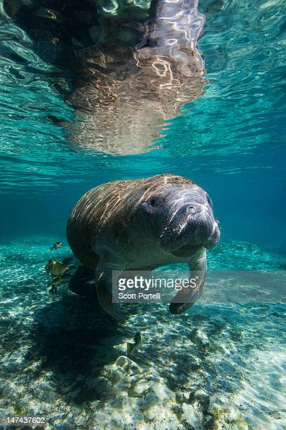 manatee crystal river - florida manatee stock photos and pictures