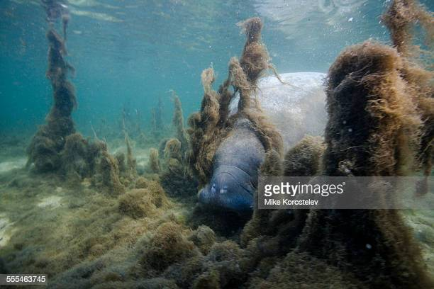 manatee eating algae in natural environment - florida manatee stock pictures, royalty-free photos & images
