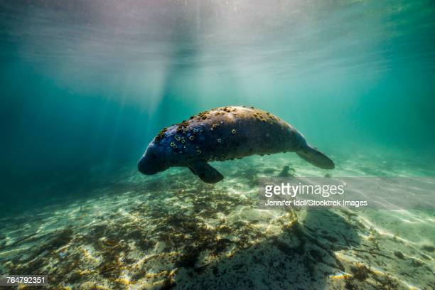 manatee in crystal river, florida. - florida manatee stock pictures, royalty-free photos & images