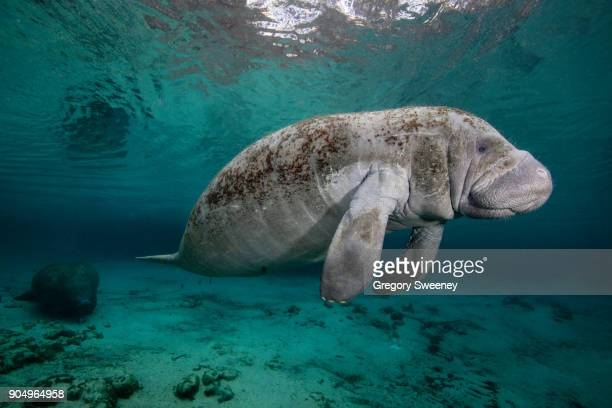manatee in freshwater springs  swimming in mid water - florida manatee stock pictures, royalty-free photos & images