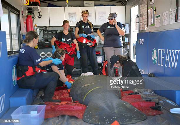 A manatee is rescued by a team from the International Fund for Animal Welfare in the waters off Falmouth Mass on Sept 22 2016 The IFAW has been...