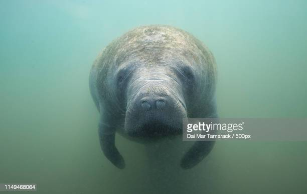 manatee looking right at the camera - dugong stock pictures, royalty-free photos & images