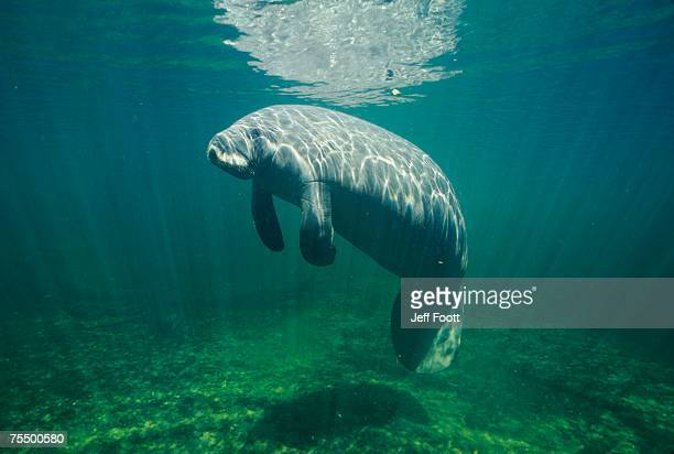 manatee (trichechus manatus) or sea cow under water - florida manatee stock pictures, royalty-free photos & images