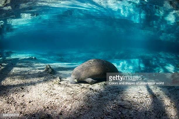 Manatee resting in the Crystal River