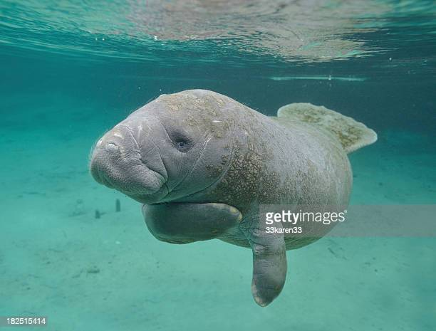 manatee sea cow cristal river florida - florida manatee stock pictures, royalty-free photos & images