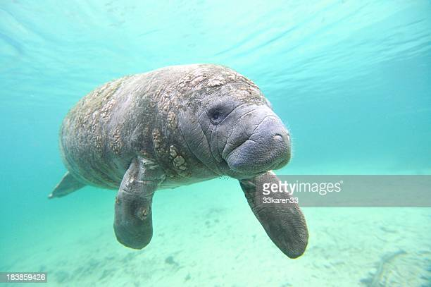 manatee sea cow - florida manatee stock pictures, royalty-free photos & images