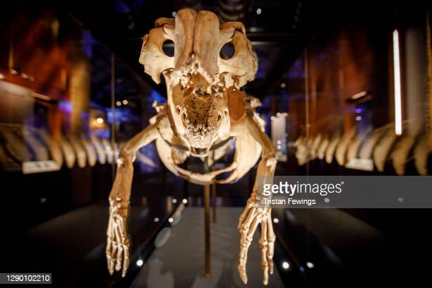 """Manatee skeleton goes on view during the """"Fantastic Beasts: The Wonder of Nature"""" photo call at Natural History Museum on December 08, 2020 in..."""