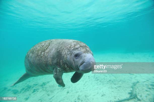 Manatee swimming under the blue waters of the sea
