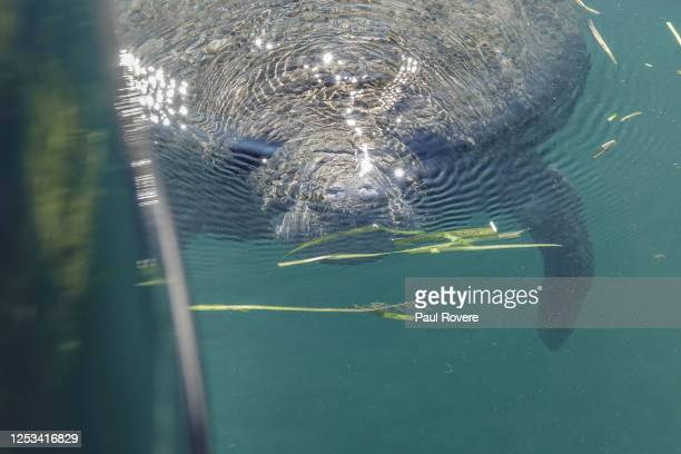 Manatee swims beside a tour boat in the Crystal River Preserve State Park on January 07 in Crystal River, Florida. Hundreds of manatees head to the...