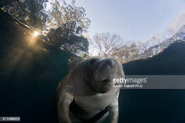 manatee with a unique hairdoo - florida manatee stock photos and pictures