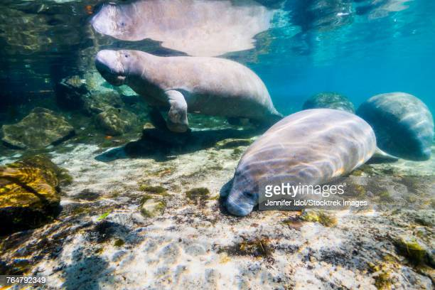 Manatee with calf in Crystal River, Florida.