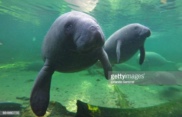 Manatees find refuge in the warm waters of Blue Spring located at Blue Spring State Park Orange City Fla in a 2015 file image Manatees which recently...