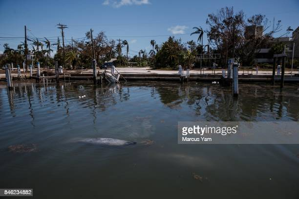 Manatees surface for air in a dock that was damaged by the effects of Hurricane Irma in Islamorada Florida Keys on Sept 12 2017