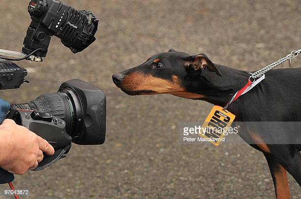A Manchester terrier dog wearing a Union Crew badge looks into a television camera as British Airways cabin crew arrive at Kempton Park Racecourse...