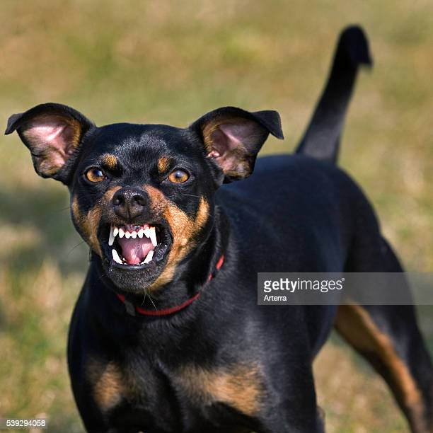 Manchester Terrier showing teeth while growling