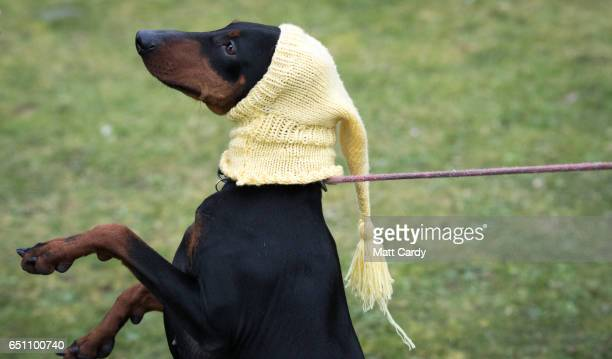 Manchester terrier wears a hat as they arrive on the second day of Crufts Dog Show at the NEC Arena on March 10, 2017 in Birmingham, England. First...