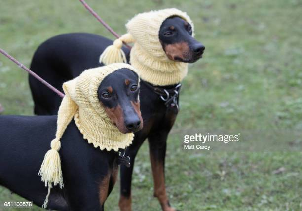 Manchester terriers Betty and Mable wear hats as they arrive on the second day of Crufts Dog Show at the NEC Arena on March 10, 2017 in Birmingham,...