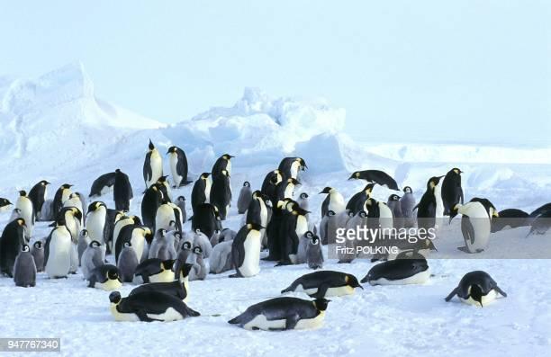 Manchot empereur DawsonLambton Glacier Mer de Weddell Antarctique