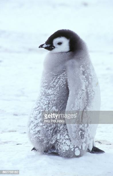 Manchot empereur sur le Glacier DawsonLambton Mer de Weddell Antarctique